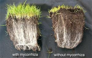 Using Mycorrhizal Fungi In Organic Farming Half Hill Farm