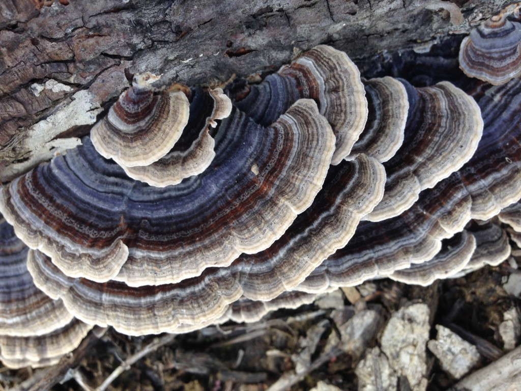 Turkey Tail mushrooms and our personal fight against cancer